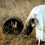 Cattle Skull, Gir