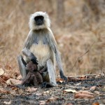 Langur Baby Crying