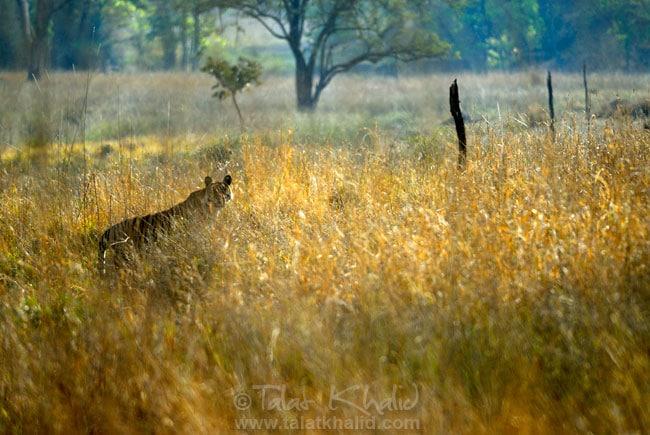 Bengal Tiger Backlit Bandhavgarh