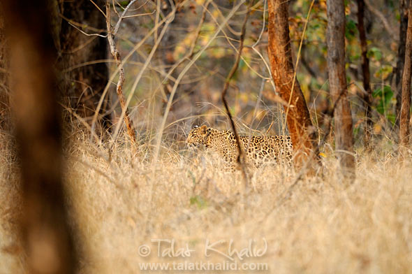 Leopard Stalking in Pench