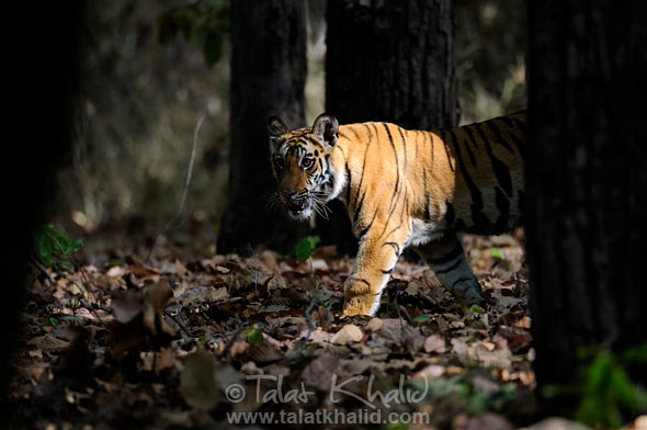 bengal tiger spotlight bandhavgarh