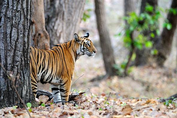 Mirchani tigress in bandhavgarh
