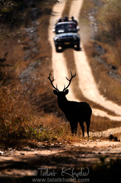 Barasingha Silhoutte Tourist Vehicle Kanha