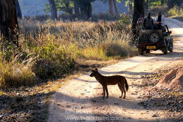 Dhole wilddog tourist kanha