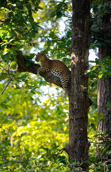leopard on tree kanha