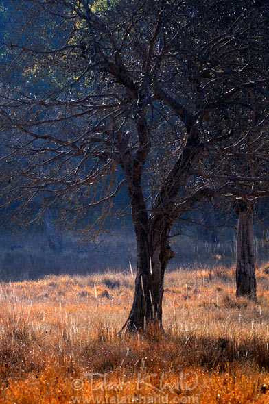 Tree backlit kanha