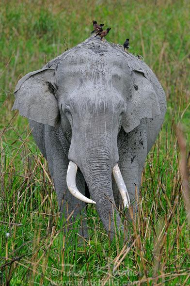 Elephant tusker mynas kaziranga