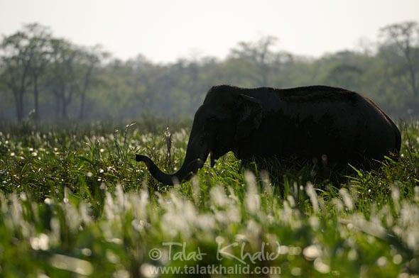 Elephant backlit kaziranga