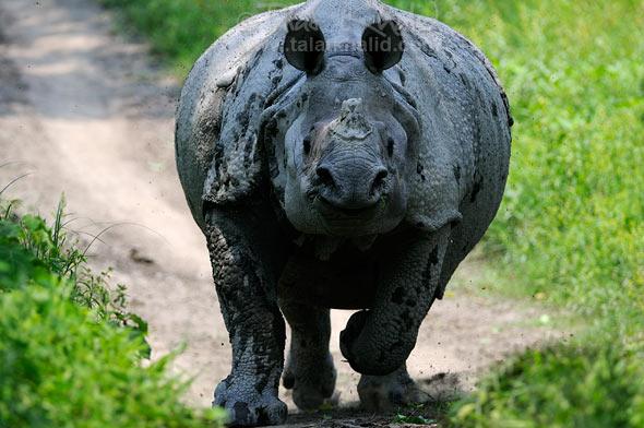 Rhino charging in kaziranga