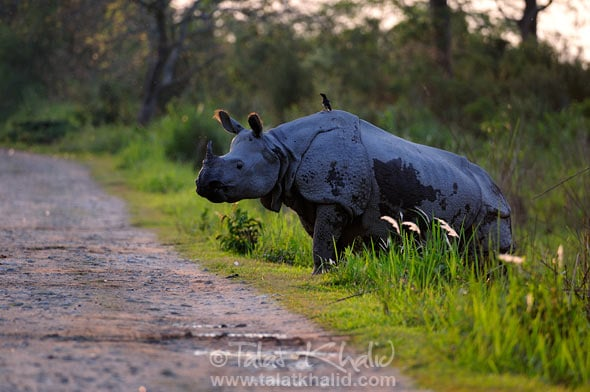 Rhino crossing the dirt track