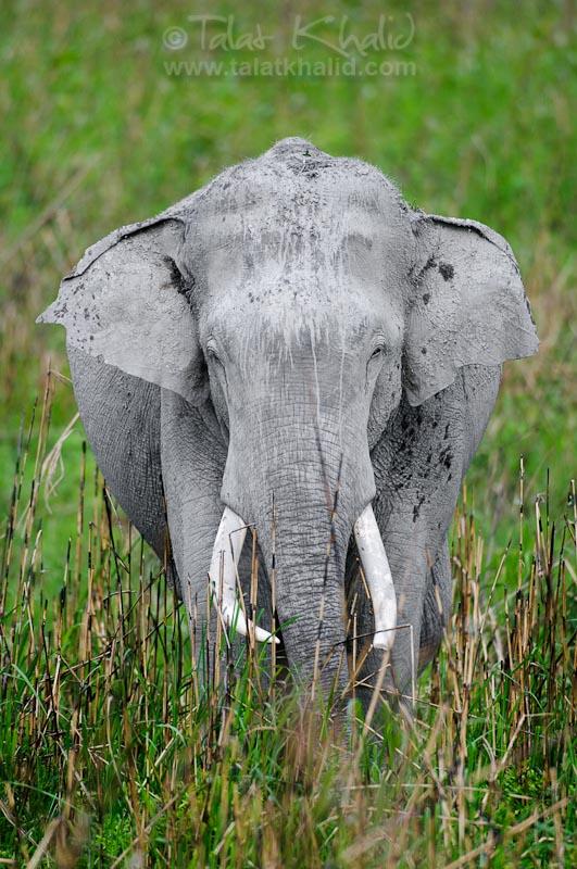 Asian Elephant Kaziranga