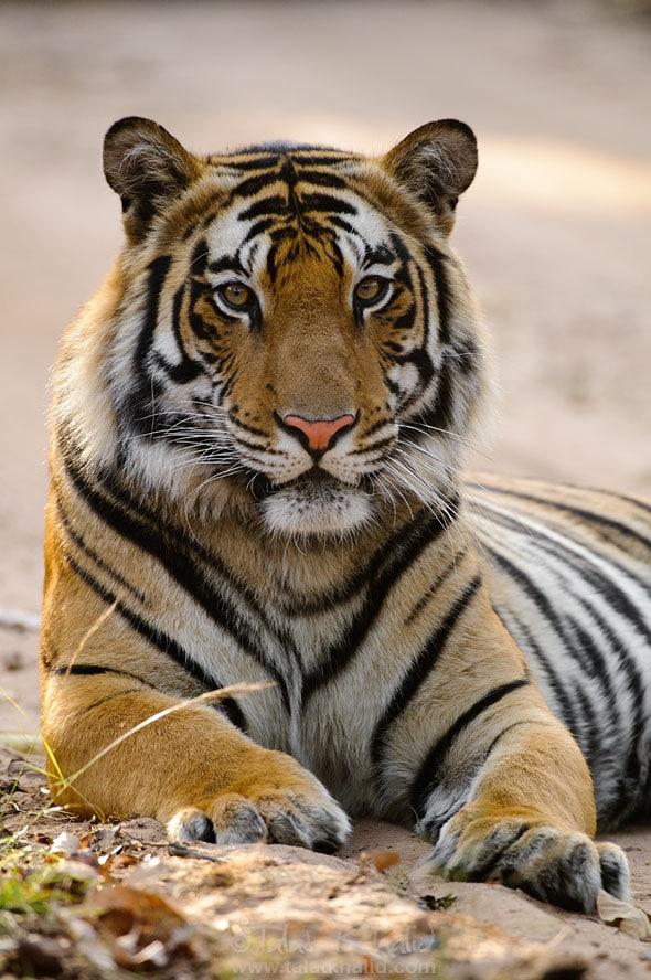 tiger closeup portrait photo bandhavgarh