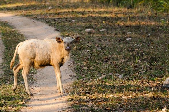 albino gaur calf