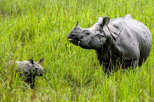 rhino mother & calf from kaziranga