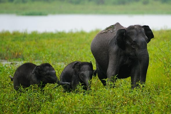 Elephant calfs kaziranga