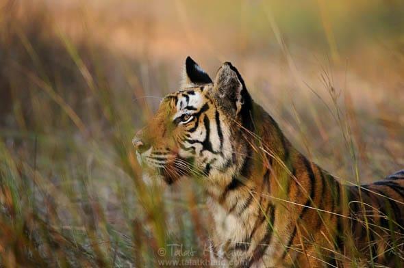 tigress rajbahra bandhavgarh