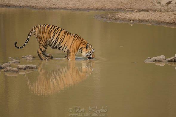 Tiger at waterhole Tadoba