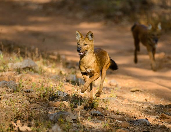 Dholes Running in Tadoba