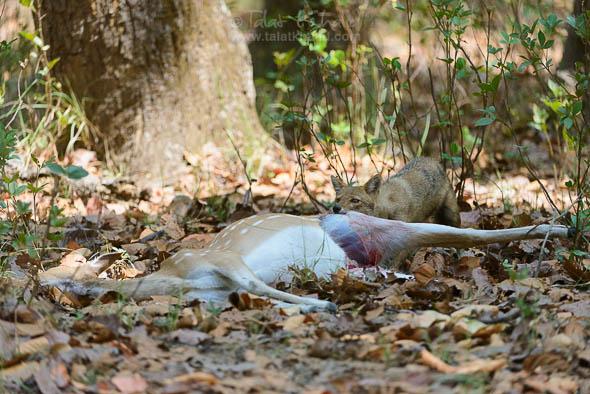 Jackal cheetal Kill