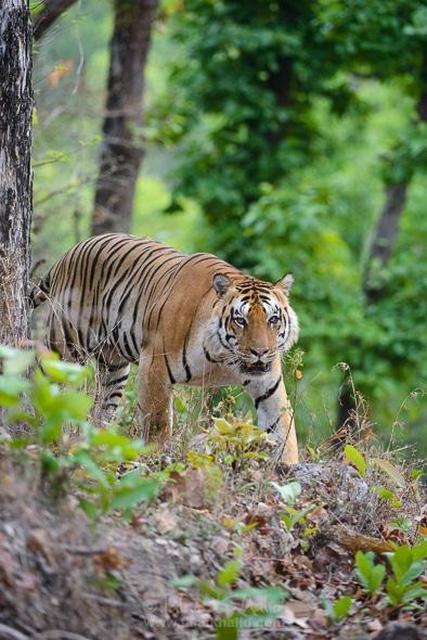 Tiger Kanha