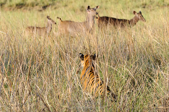 Tigress looking at sambar deers