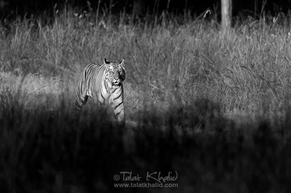 tigress rajbehra bandhavgarh blackandwhite