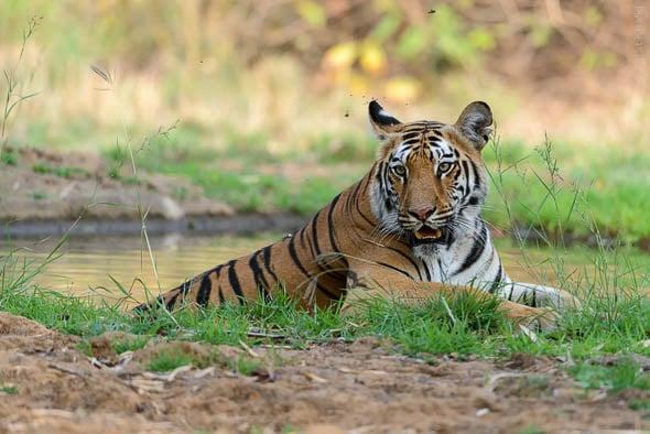 Tigress in water at Tadoba