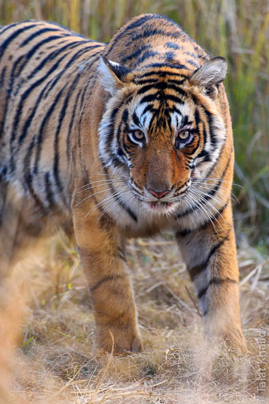 Tiger cubs of t19 ranthambore