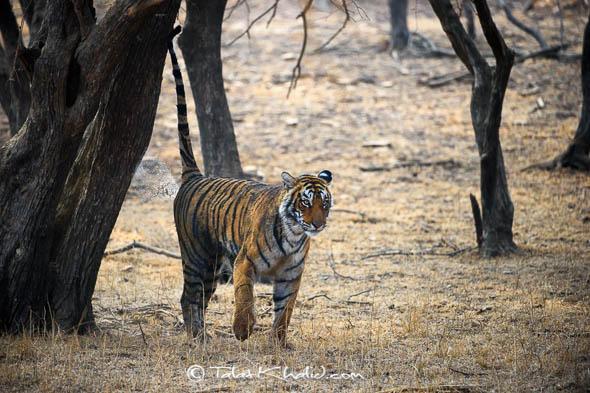 Tigress Marking Territory Ranthambore