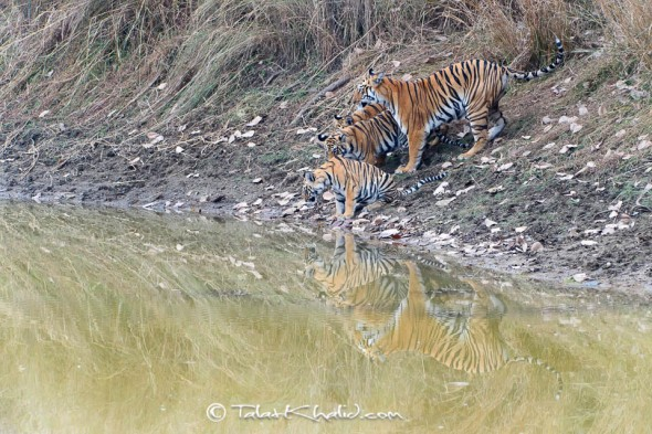 tigress cubs water tadoba talat