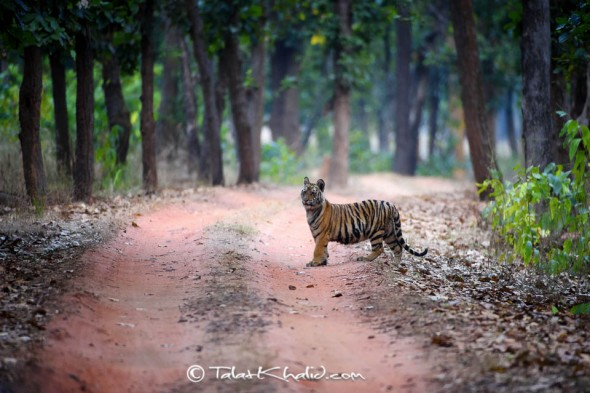 tiger cub bandhavgarh talat